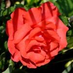 My Rose - MTW